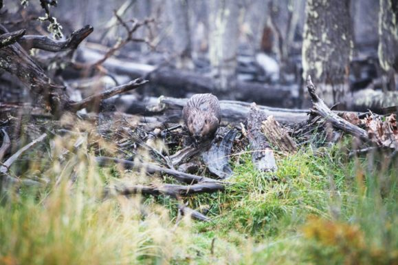 patagonia-beaver-1024x682